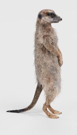 Realistic 3D Render of Meerkat