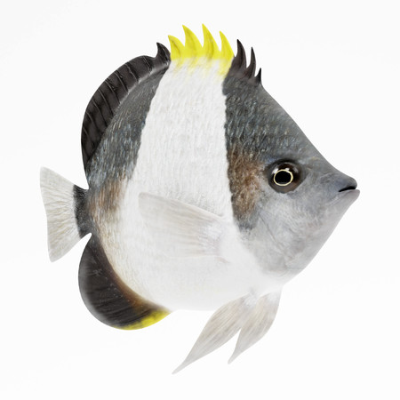 Realistic 3D Render of Black Pyramid Butterflyfish