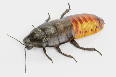 Realistic 3D Render of Hissing Cockroach