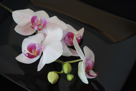 flores moradas: White Orchid Flower On Black Glossy Background