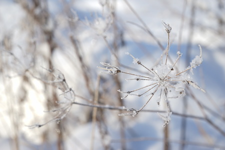 winter flower: Winter Flower With Ice Crystals. Winter Photo.