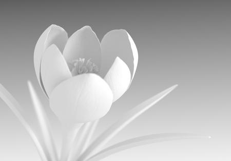 macro flowers: White Crocus Flower Blooming.