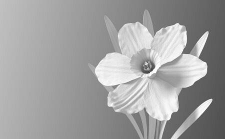 White Synthetic Flower Narcissus On Gradient Background Reklamní fotografie