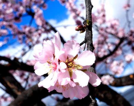 Almond Flowers In Full Bloom On Background Of Blue Sky. Reklamní fotografie