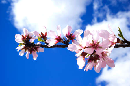 Pink Flowers In Full Bloom On Background Of Blue Sky.
