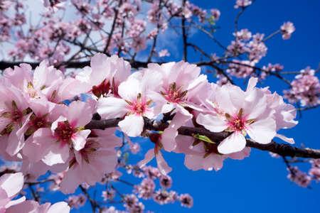 Almond flowers in full bloom against blue sky Reklamní fotografie