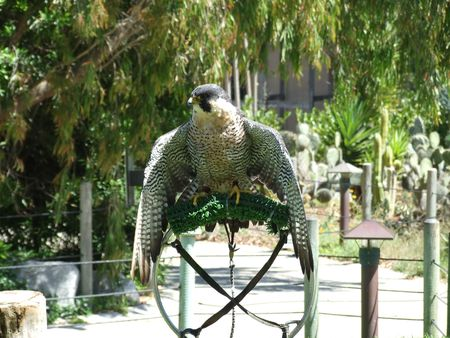 Hawk in the San Fransisco zoo photo