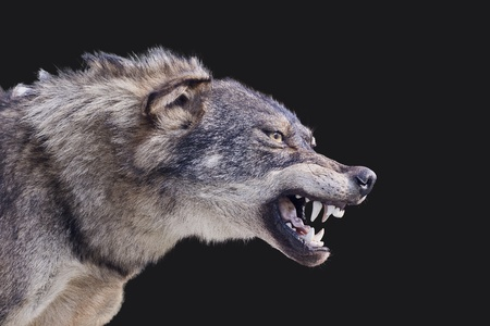 Aggressive wolf stuffed photo