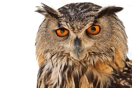 animals horned: owl eyes