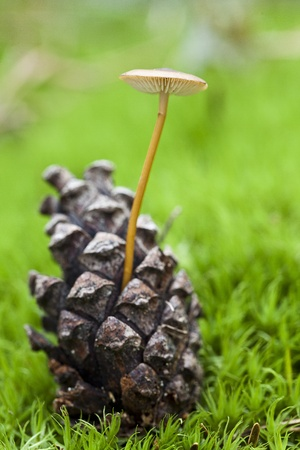 pine cone collybia photo