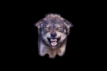 pack animal: aggressivo lupo farcito Archivio Fotografico