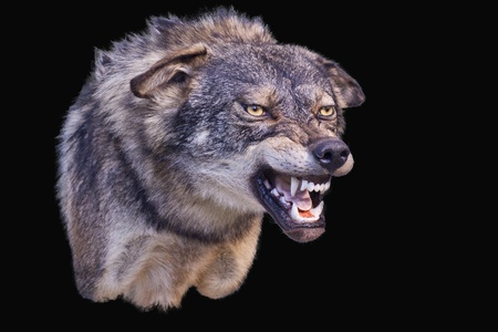 stuffed animals: agressive wolf stuffed