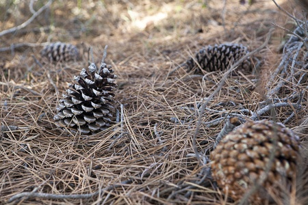 pine three: group of pine cones on the forest floor