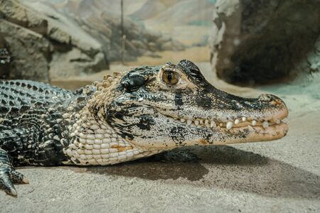 a crocodile looks hungry at the zoo
