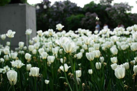 Garden with amazing white tulips, tulip field