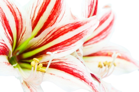 Amaryllis flower photo