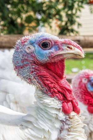 White turkey head side view