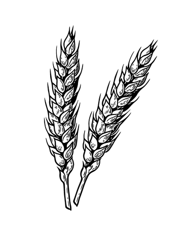 Wheat bread ears cereal crop sketch wheat, barley and grain malt. For poster with production process brewery of beer or whiskey vector vintage engraved illustration. Hand drawn design element.