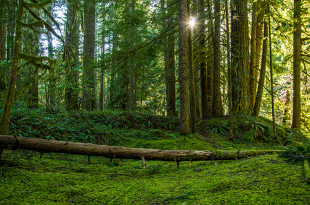Mossy Green Forest Surrounded by a Canopy of Old Growth Trees photo