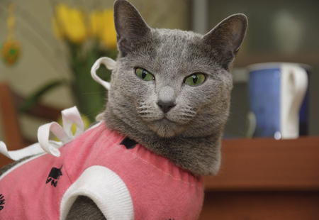 Russian blue cat in a pink caftan 스톡 콘텐츠
