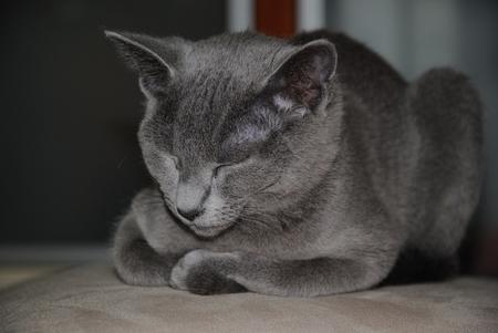 Russian blue cat is sleeping