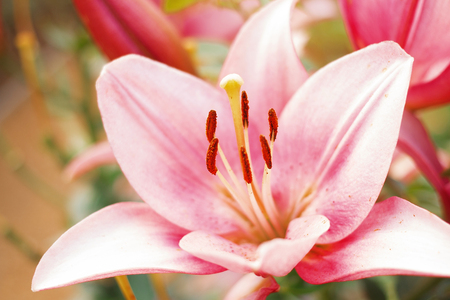 magic lily: Zephyranthes flower. Common names for species in this genus include fairy lily, rainflower, zephyr lily, magic lily, Atamasco lily, and rain lily