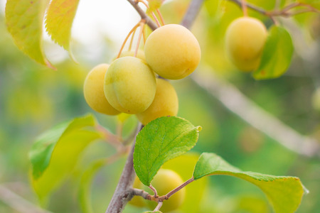 plump: Unrape Spanish grapefruit on a tree. Plump growing on the tree Stock Photo