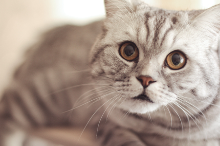 whiskers: Gray beautiful cat with long whiskers long hair Stock Photo