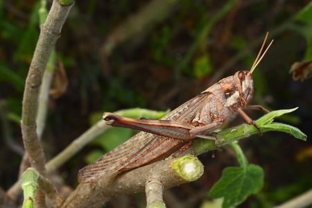 recently: A large grasshopper on a recently cut branch
