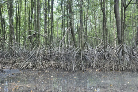 marsh plant: stilt root of the mangrove trees, Rhizophora apiculata Stock Photo