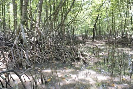 mangrove roots photo