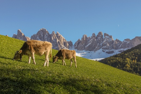 Geisler Mountains in the Dolomites with cows and moon Stock Photo