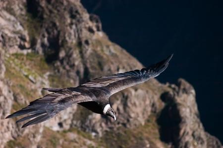 Condor in the colca canyon in Peru near Arequipa