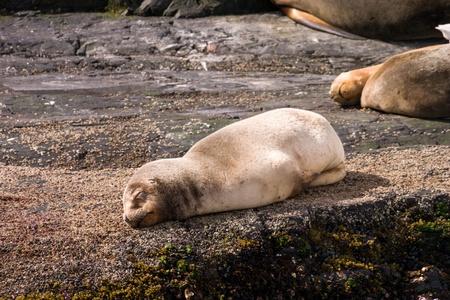 Baby sea lion sleeping on a rock photo
