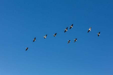 Brants flying on a crystal blue sky photo