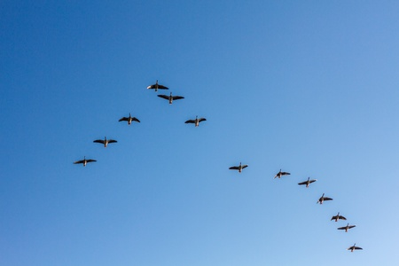 Brants flying formation on a crystal blue sky photo