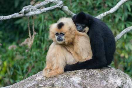 2 monkeys hugging photo