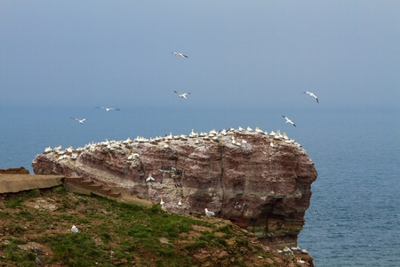 Rock at the north sea with many birds photo