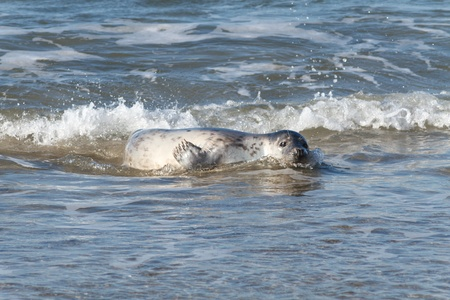 Seal on the dune of Helgoland bathing