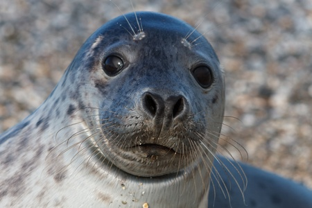 Seal on the dune of Helgoland posing to the cam Stock Photo