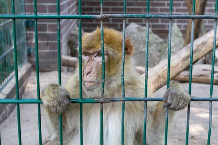 Sad looking monkey in his cage staring somewhere
