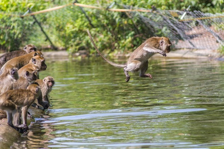 Jumping monkey directly above the water Stock Photo