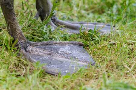bird web footed: Feet of an adult male Swan Stock Photo