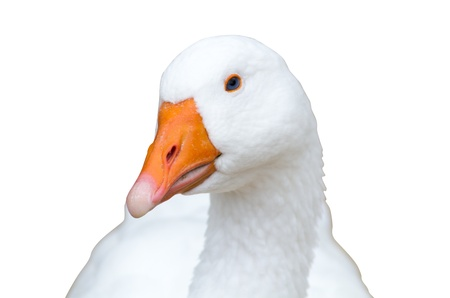 Goose isolated on white looking at you Stock Photo