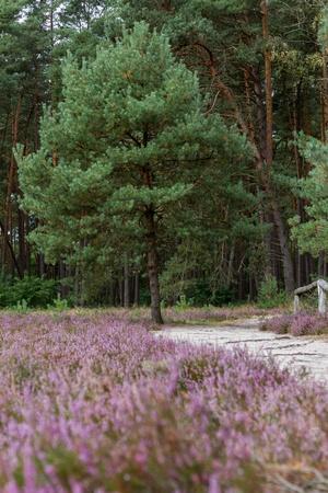 Heathland in northern Germany