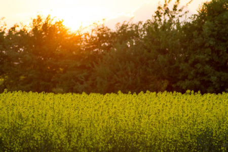 Cornfield at sunset with trees in warm atmosphere