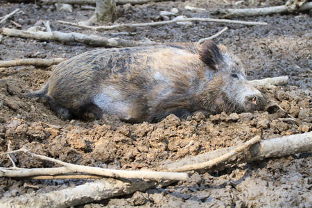 Boar resting in the mud photo