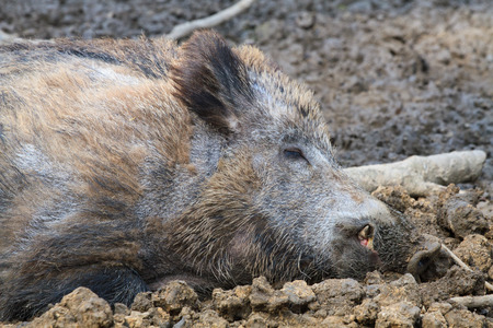 Boar resting in the mud close Stock Photo