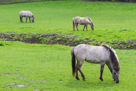 3 Tarpan horses on a meadow Stock Photo