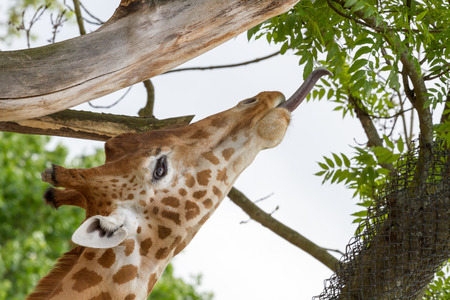 reticulated giraffe: Giraffe with tongue to the leafs Stock Photo